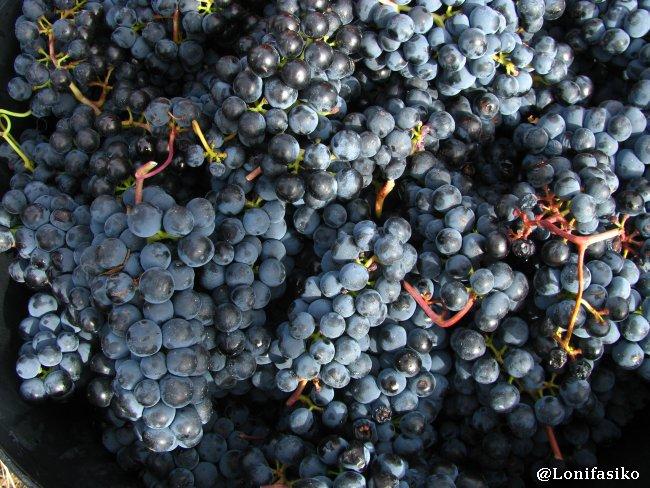 Racimos de uva tempranillo depositados en los cestos