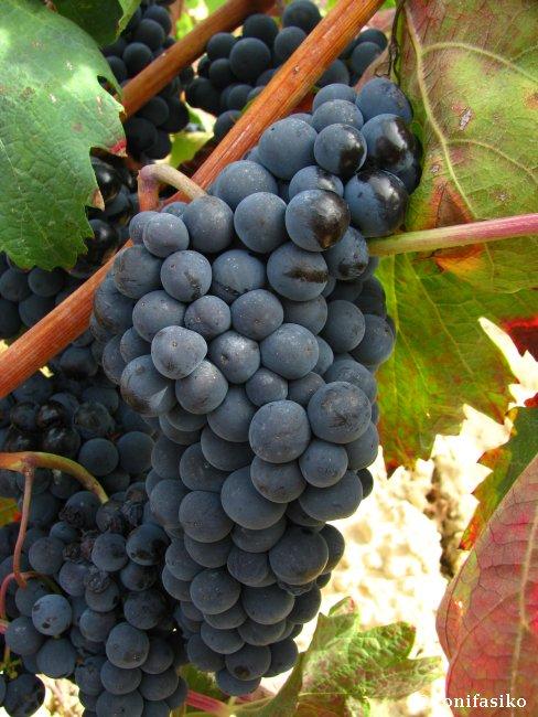 Uvas de la variedad tempranillo listas para ser vendimiadas y exprimidas