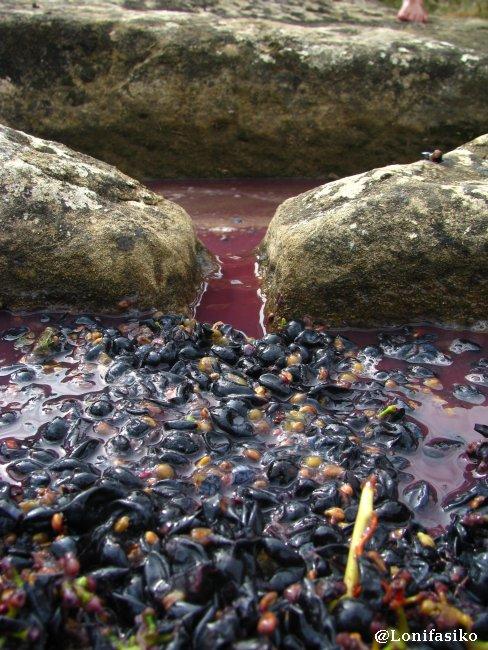 El filtro natural de la uva en el paso del mosto de la pileta al torco