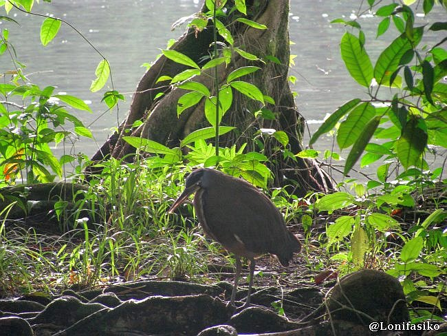 Aves en Tortuguero, Costa Rica