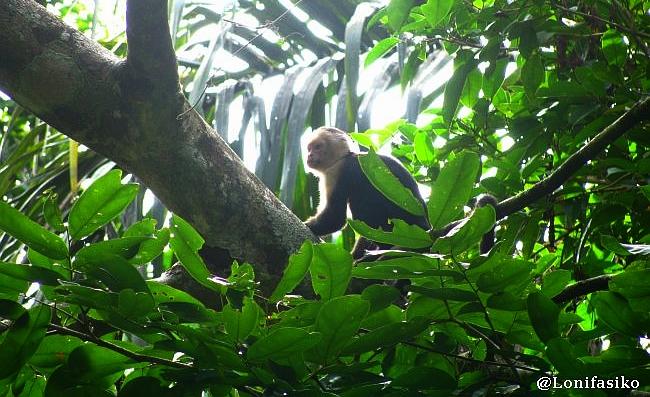 Monos en Parque Nacional Tortuguero, Costa Rica