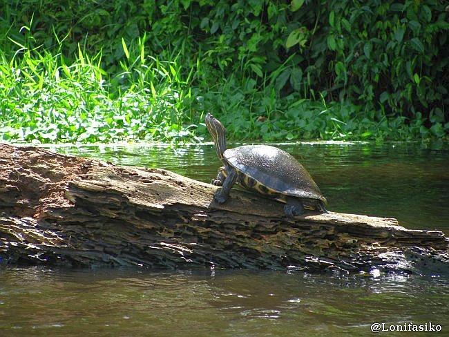 fotos tortugas Tortuguero Costa Rica animales