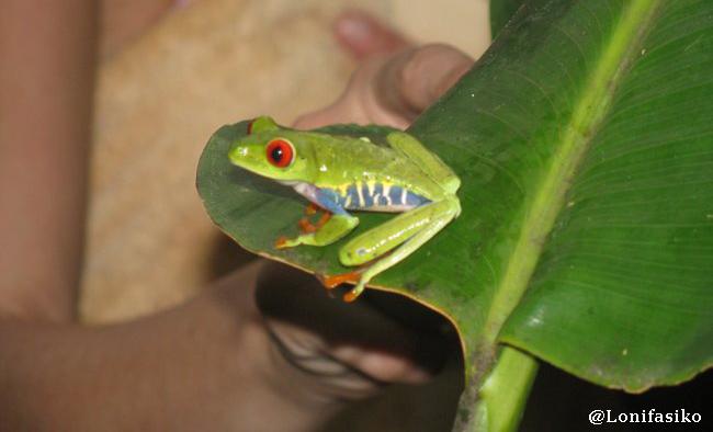 Costa Rica fotos ranas