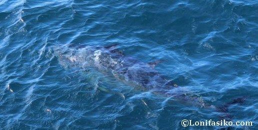 Estela del atún rojo del Mediterráneo
