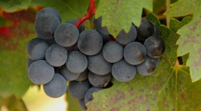 La Rioja otoño vendimia fotos viñedos