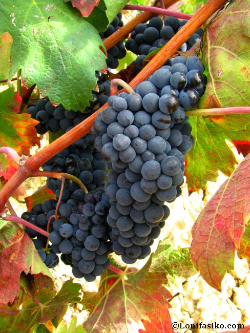 Época de vendimia en La Rioja