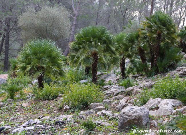 Palmito, la única palmera autóctona de Baleares