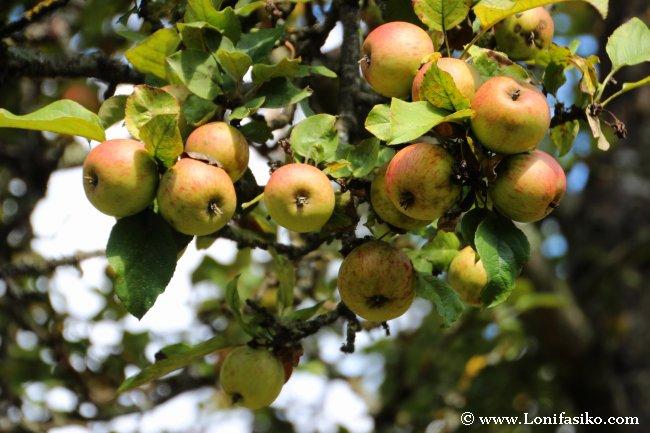 Manzanos repletos en la zona de Barnaola