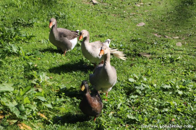 Gansos y ocas en la vía verde de Arditurri