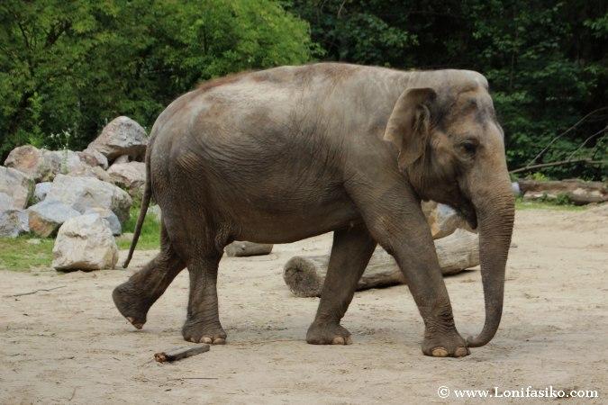 Elefante en zoo