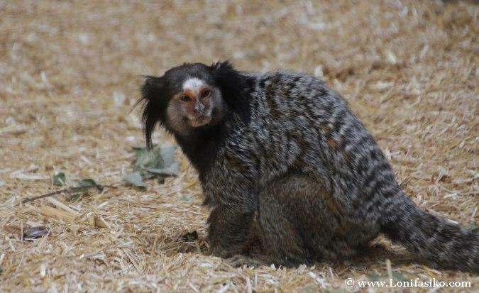 Monos en el zoo de Liubliana