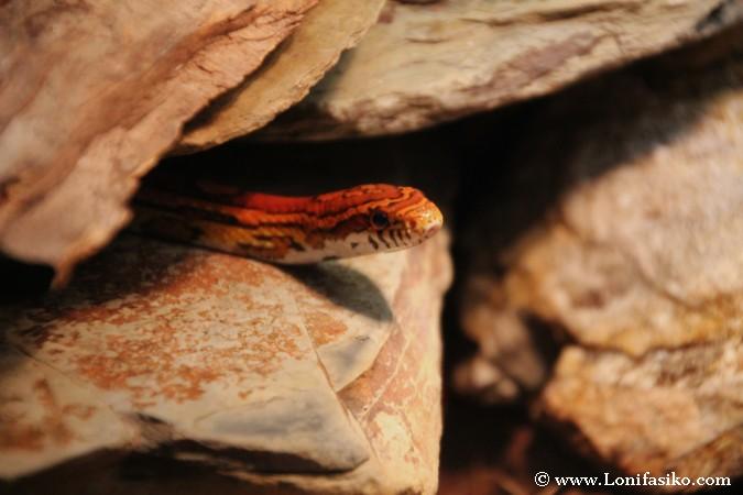 Serpientes venenosas en Eslovenia