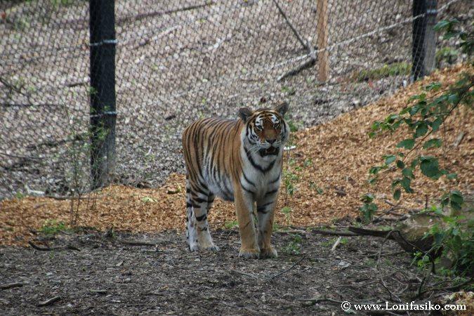 Tigre en el zoo de Liubliana
