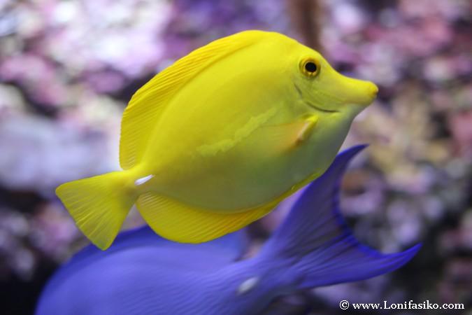 Peces de colores llamativos en el aquarium lonifasiko - Colores llamativos ...