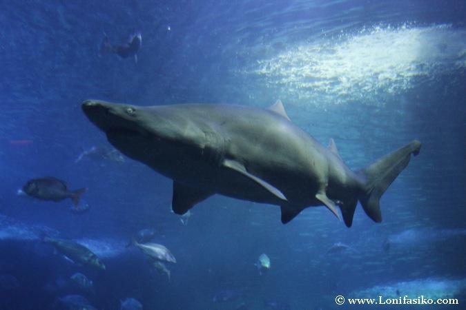Tiburones del Aquarium de Donostia-San Sebastián