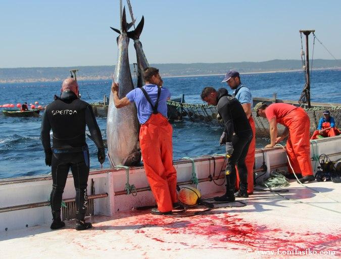 Levantá atún rojo de almadraba