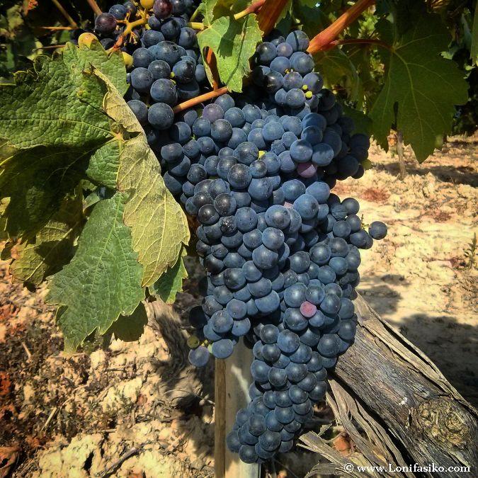 Racimo uvas La Rioja