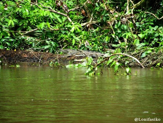 Tortuguero Costa Rica animales fotos