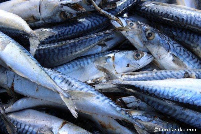 Caballa, alimento esencial y majar para el atún rojo del Mediterráneo