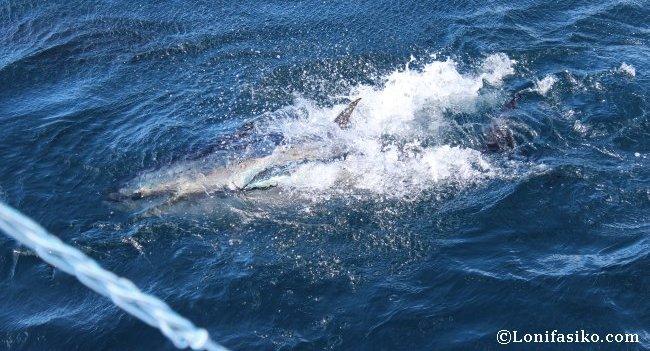 Un ejemplar de atún rojo del Mediterráneo tras devorar una caballa