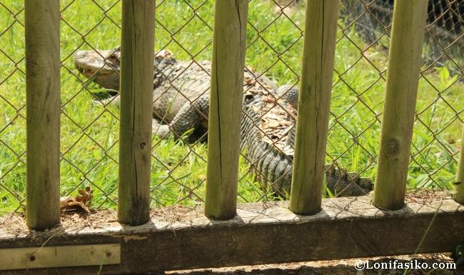 Karpin Abentura animales cocodrilo fotos