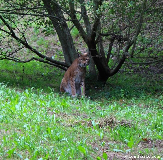 lince Karpin Abentura animales fotos