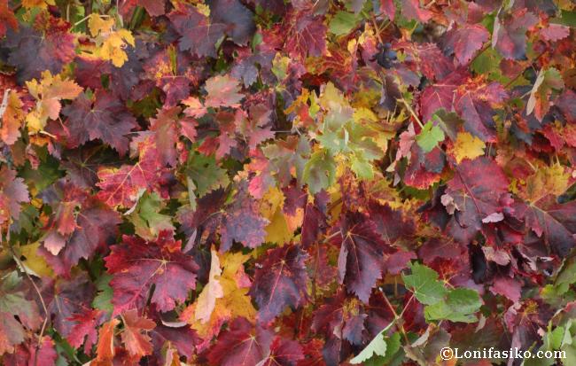 Viñas y viñedos en otoño en La Rioja