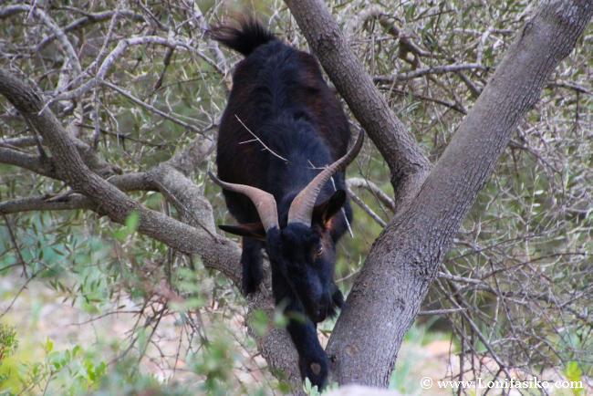 Cabra trepando entre árboles en Es Galatzó