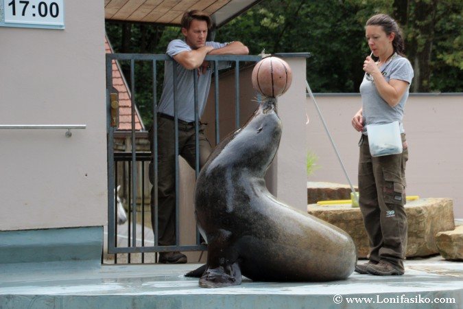 Juegos y acrobacias con leones marinos