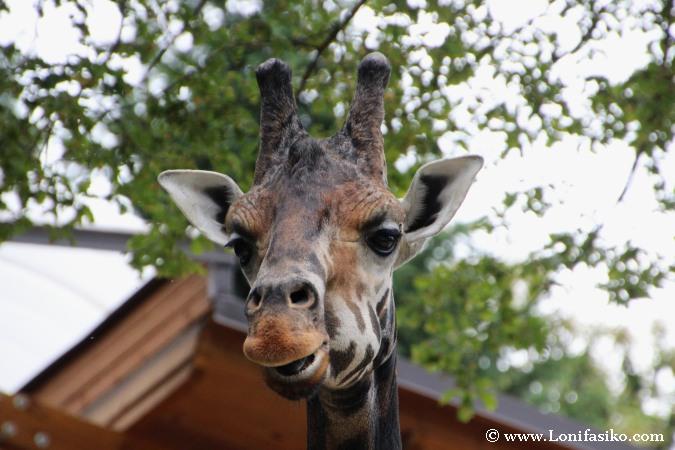 Jirafa en el zoo de Liubliana