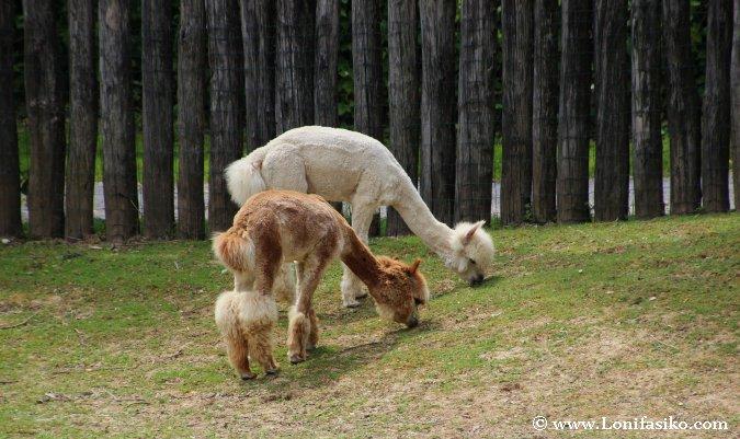 Alpacas en el zoo de Liubliana