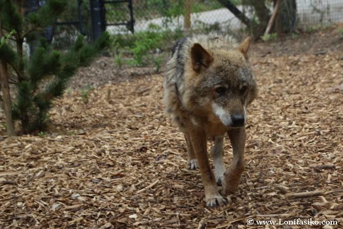 Lobo solitario