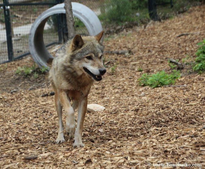 Lobos en cautividad