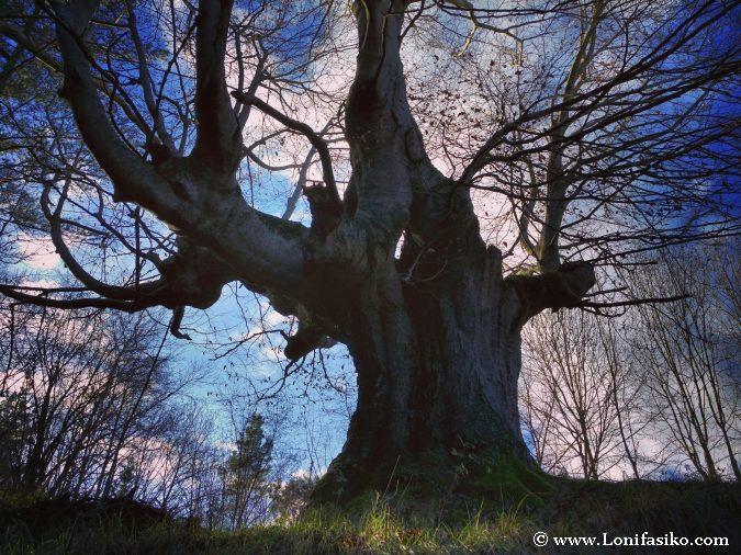 Fotografías de haya árbol fotos