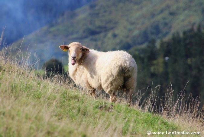 Oveja latxa Euskadi Queso Idiazabal