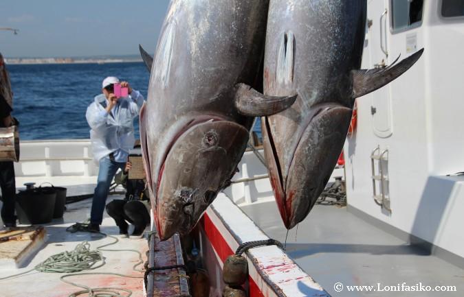 Levantá atún rojo almadraba Barbate
