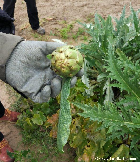 Alcachofas Ribera Navarra verduras foto