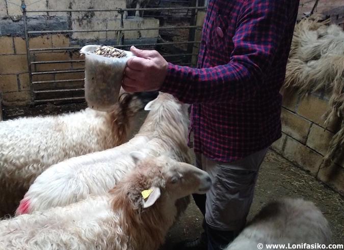 pastor por un dia entre ovejas