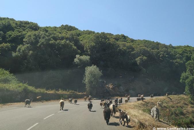 Conducir en Córcega carreteras animales